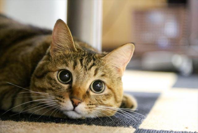 関節痛の愛猫に飲ませたい猫用サプリメント